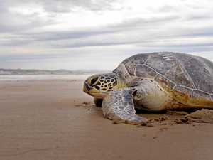 Photos: Injured green turtle released at Harbour Beach