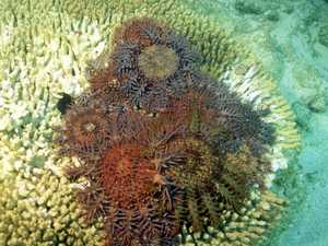 No action decided yet for crown of thorns outbreak