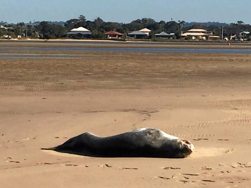 Ballina Shire Councillor Sharon Cadwallader snapped the Leopard Seal washed up on a Ballina beach today.