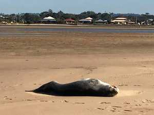 Leopard seal washes up on Ballina beach