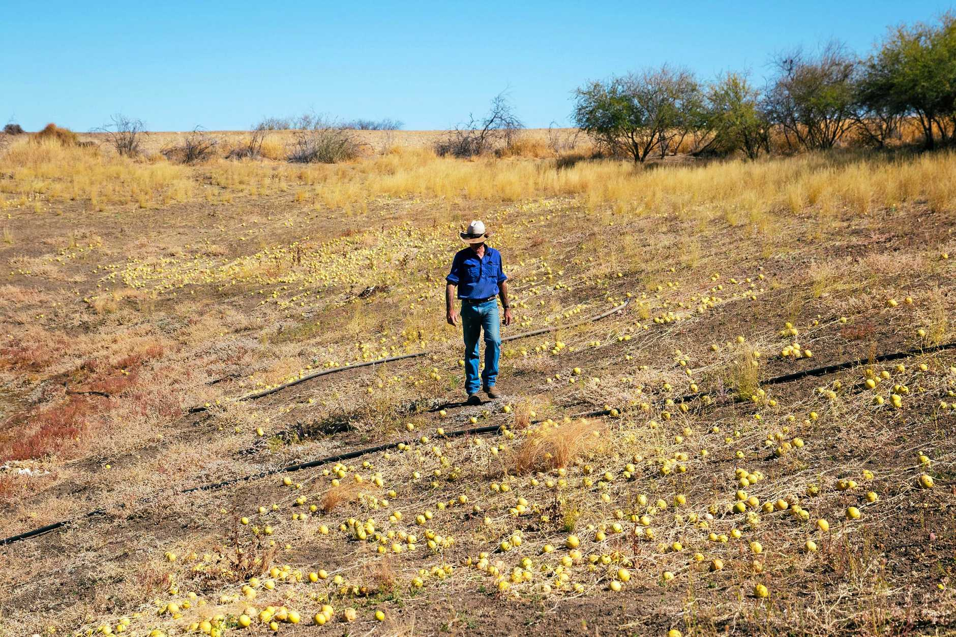 Photographer, Lisa Alexander's property, 90kms south west of Blackall in in drought with no relief in sight.
