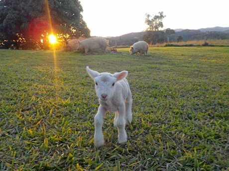 Lamby have a frolic at Kandanga Farm.