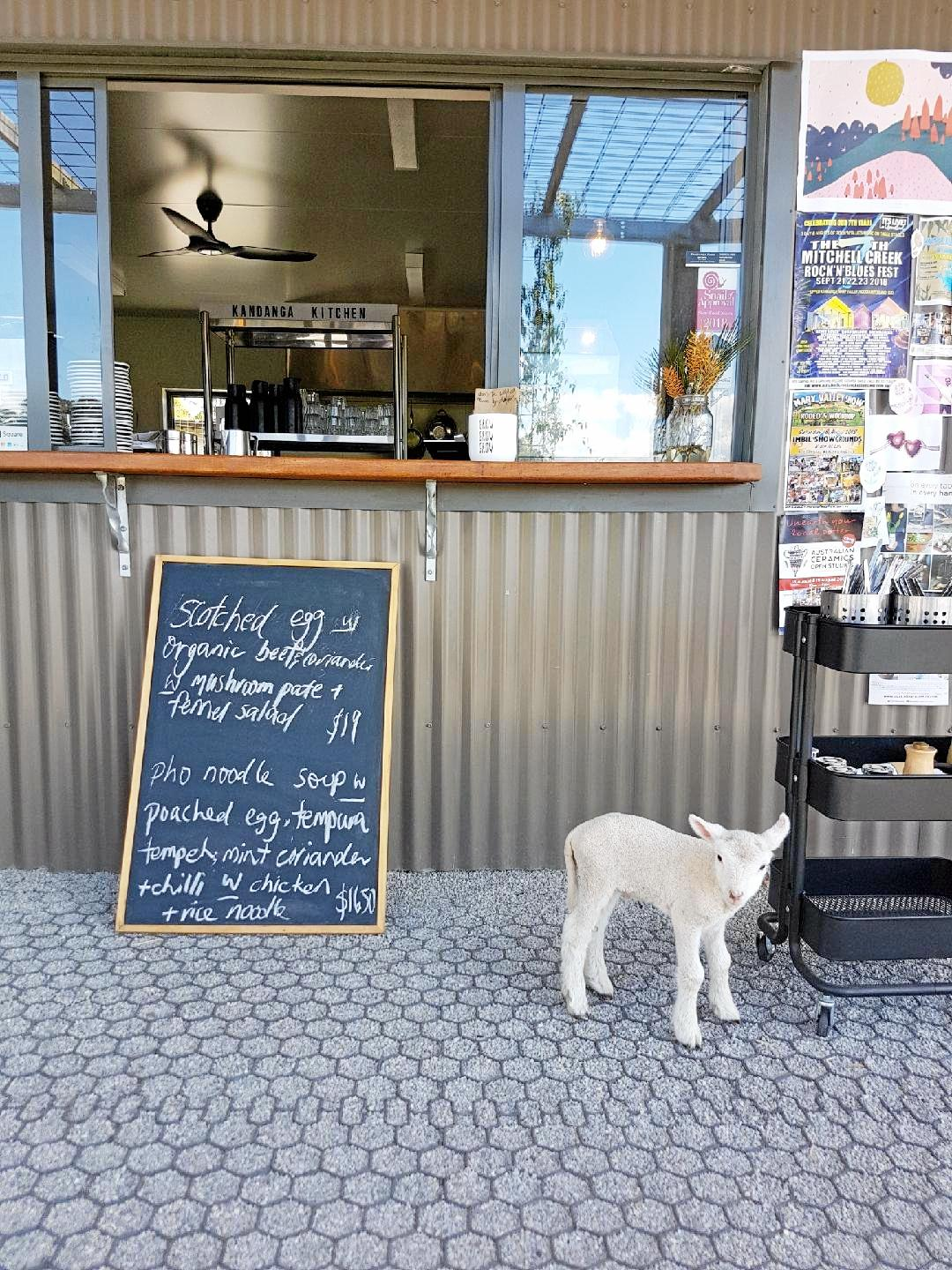 Lamby hanging out at his favourite cafe - the Kandanga Kitchen.