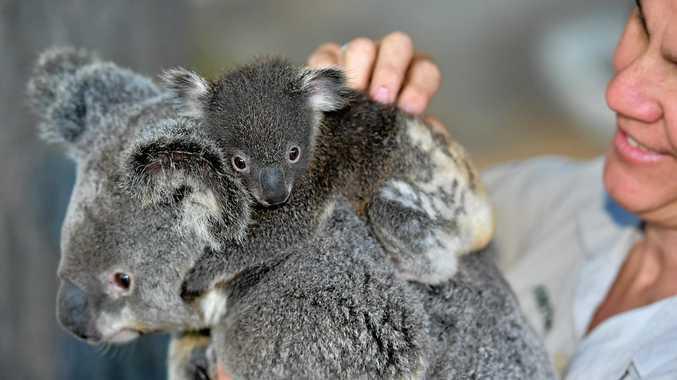Head koala keeper Kirsten Latham checks on the health of the new koala joeys.