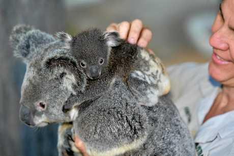 Head koala keeper Kirsten Latham checks on the health Maple and the other joeys.