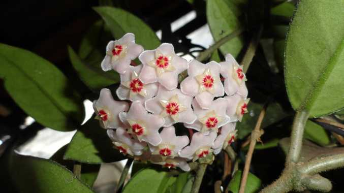 Hoyas all have a similar flower - a five-pointed star.