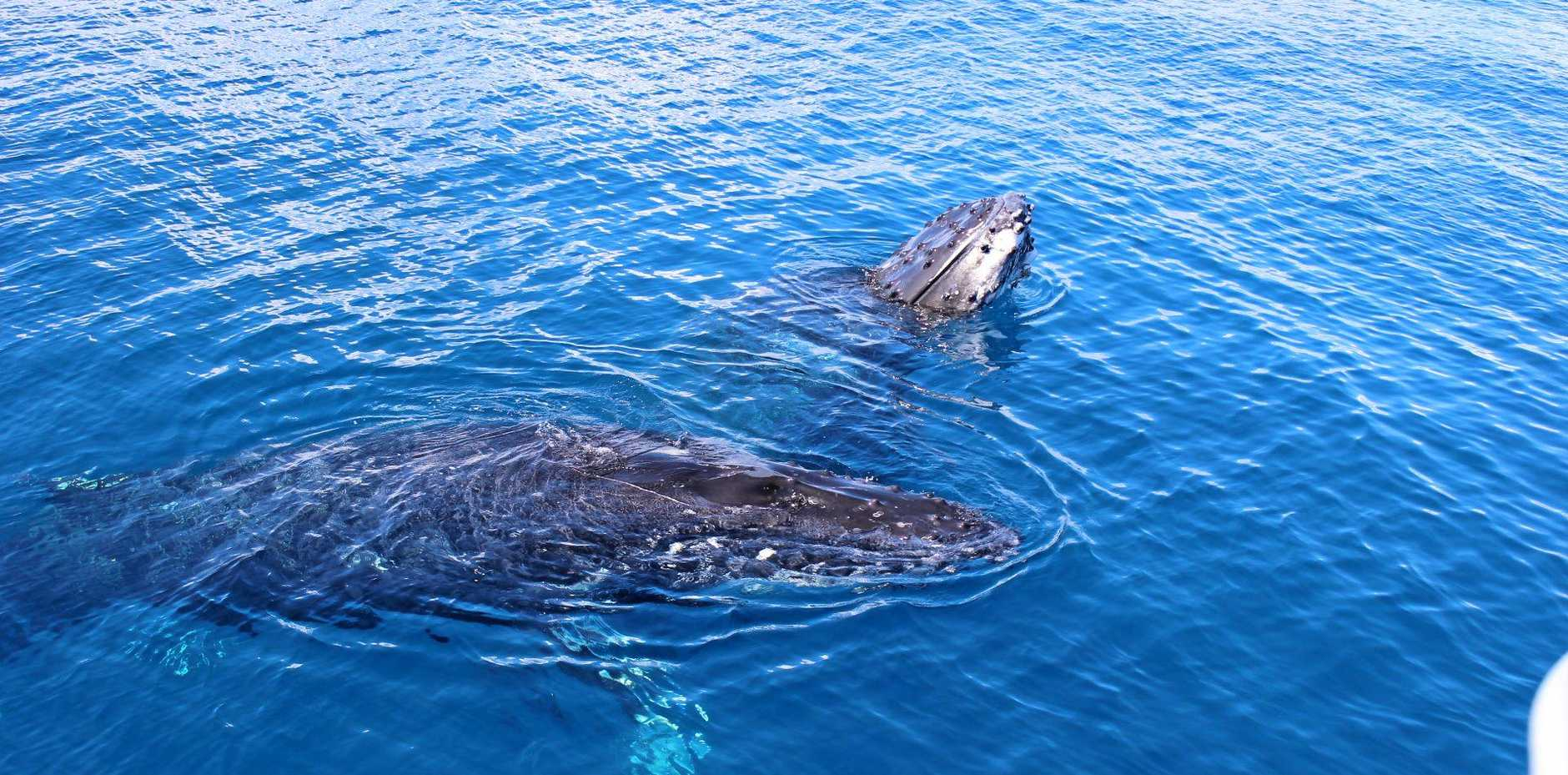 Juvenile whales are usually the most curious and come right up to swimmers.