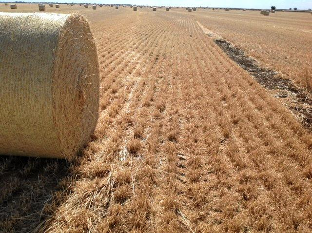 TAKING STOCK OF STUBBLE: With drought conditions continuing, farmers and graziers are busy utilising their remaining  dry grass and winter cereal stubble blocks for their cattle or sheep.