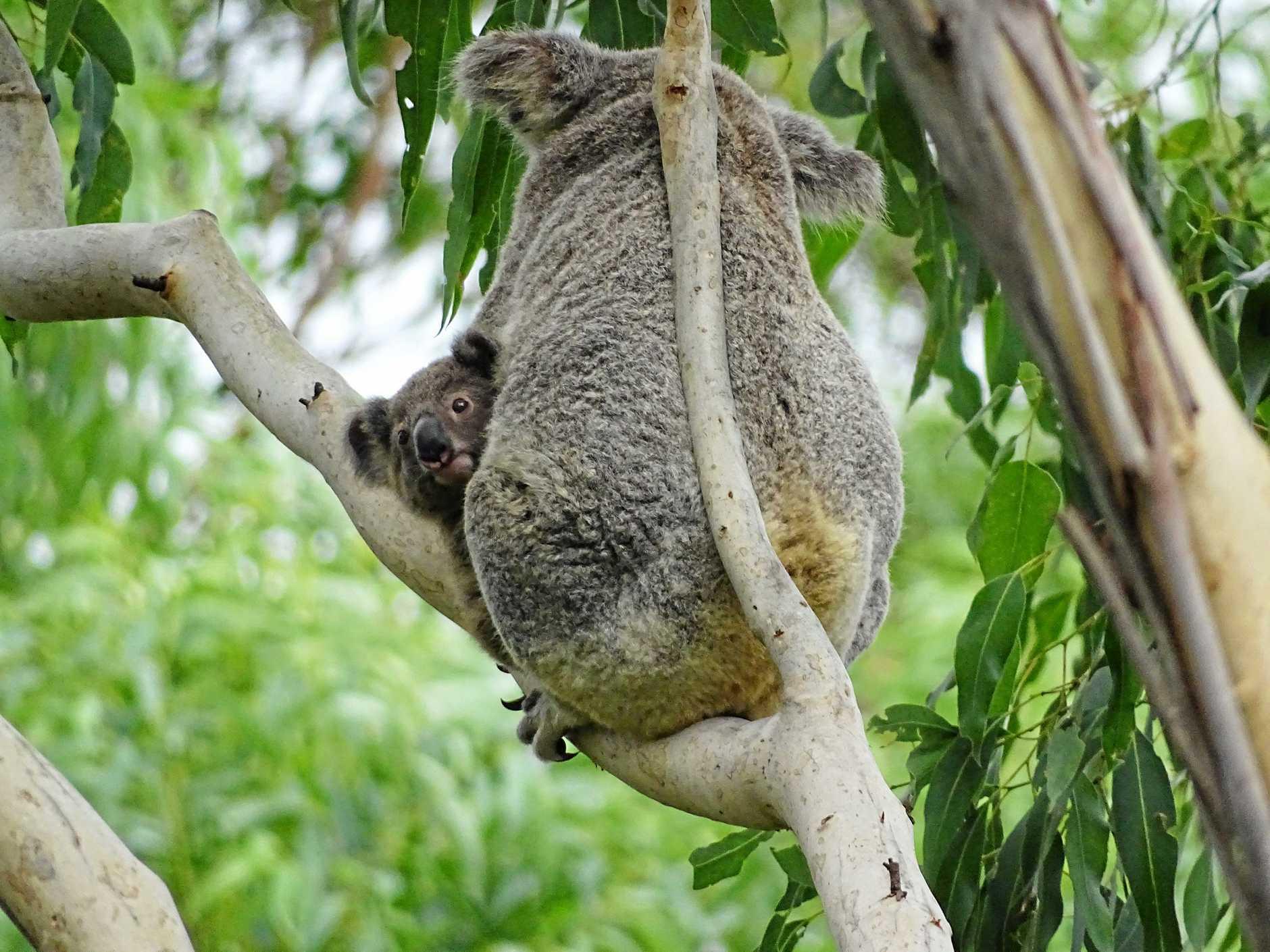 Wild Koala Day.