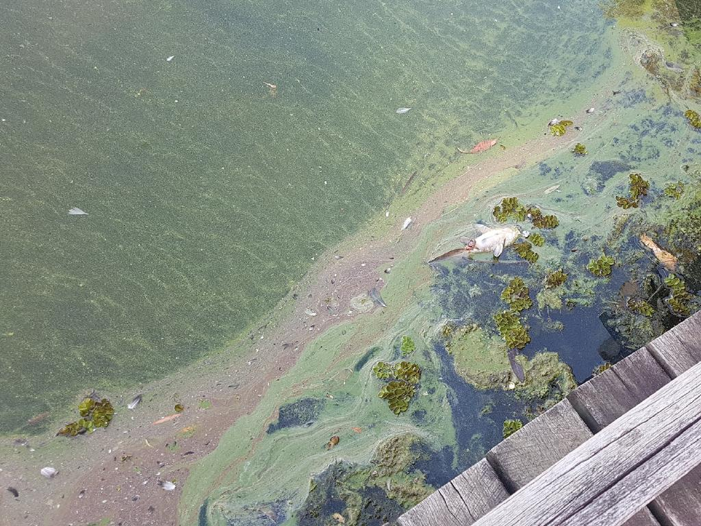 Dead tilapia are appearing in Forest Lake, blamed on colder water temperatures.