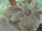 Watch: Adorable newborn Koala joeys at Australia Zoo