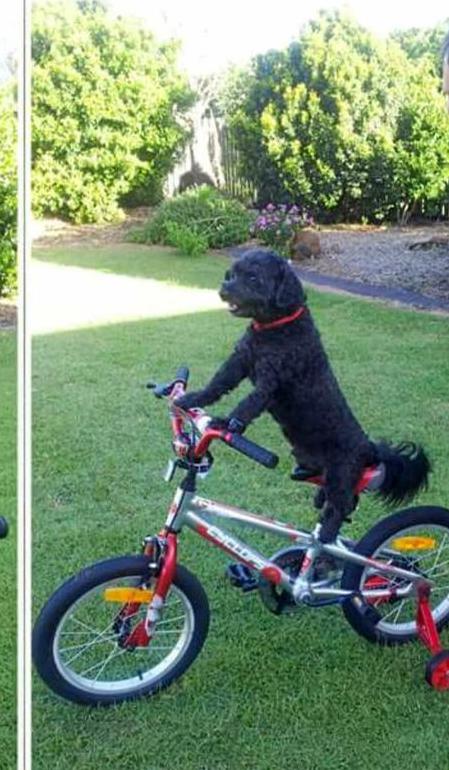 Rhonda Gill's pooch is still on training wheels