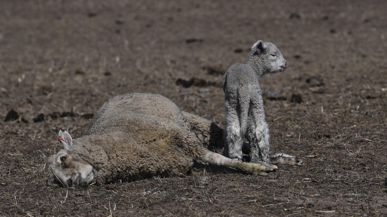 A lamb stands next to its dead mother at Billaglen farm near Braidwood.