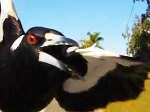 Death from above: Magpie attacks hit Gympie again