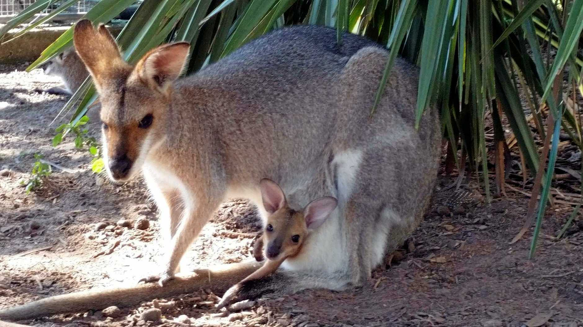 Mother and joey at Fraser Coast Wildlife Sanctuary.