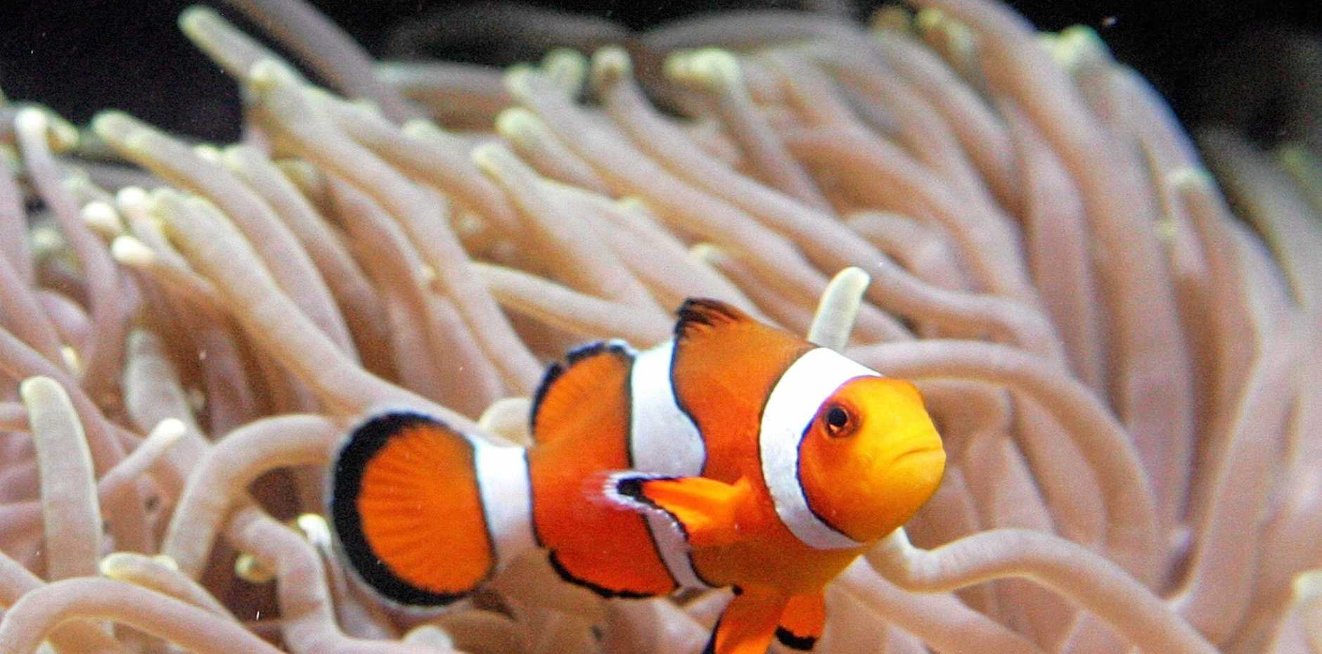 BREEDING CENTRE: Clown fish lovers will be able to get their own Nemo later this year at Boyne environment centre.
