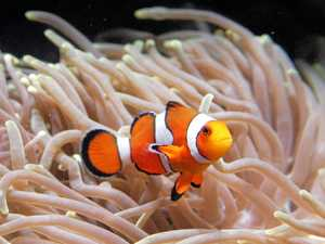 Environmental centre to breed popular clown fish