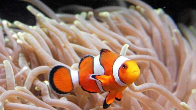 Environmental centre to breed popular clown fish