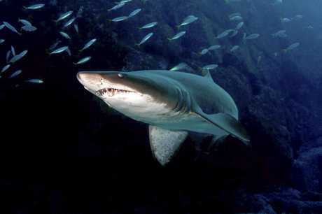 Grey nurse sharks have been turning up in huge numbers at The Tunnels dive site off Mooloolaba