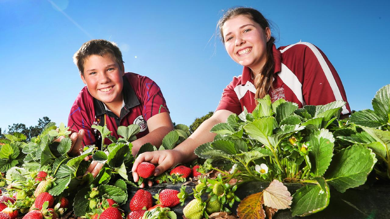 Year 10 students Ty Henzell and Kylie Moratti with some of the strawberries that will be sold to help rally funds for farmers. Picture: Nigel Hallett