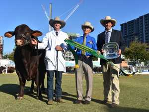 Reserve Senior Champion Bull for the santa gertrudis