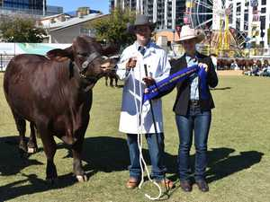 Winner of santa gertrudis class bull 16 months and