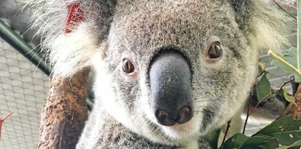 One of the koalas being cared for by Friends of the Koala in Lismore.
