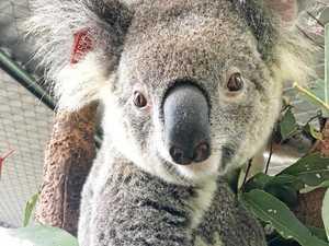 Koala alert: Determined animals are active on roadways
