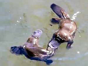 WATCH: Tourist snaps platypuses mating at Eungella