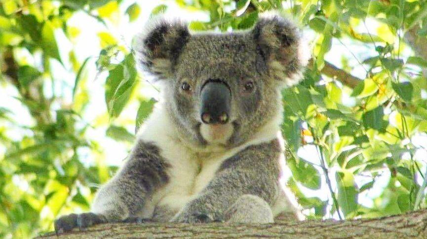 KOALA:  Volunteers are needed for this Saturday's easy-peasy Koala Tree Planting Working Bee.