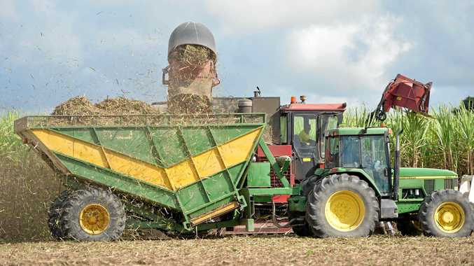 A harvester and haul out tractor work together to harvest sugar cane.