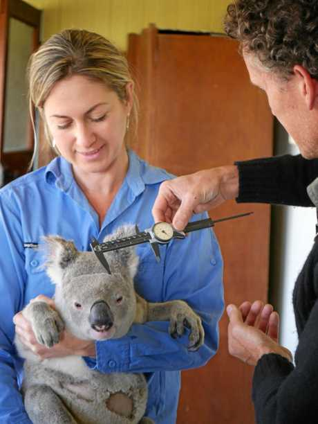 HEALTH CHECK: Koala Cobber is measurered so his growth can be tracked.