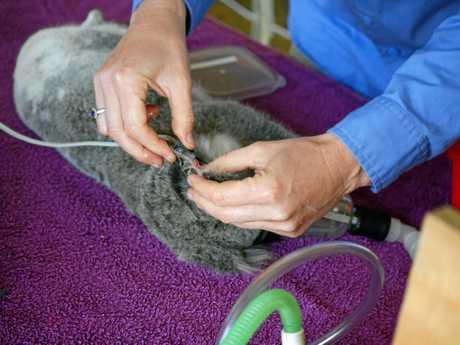 Koala rehabilitation project at Tandora - koala Nola