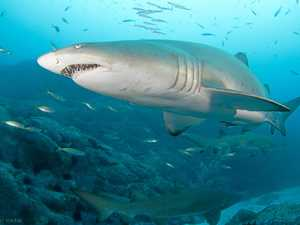 Divers over the moon at surprise sight of grey nurse sharks