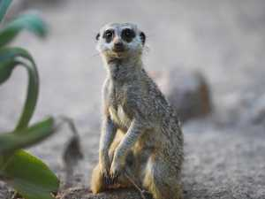 Meerkats at Snakes Downunder