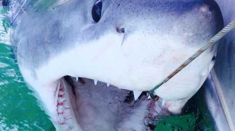 This 2.32m male white shark was caught at Lennox Head Beach on SMART drumlines.