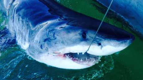 This 3m male great white shark was caught, tagged and released off Angels beach near Ballina.