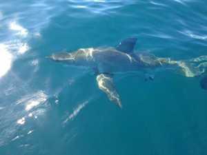 Dozens of baby white sharks caught on drumlines