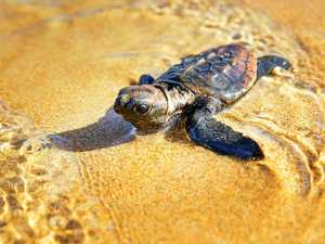 The hunt is on for little heroes to join a turtle crusade