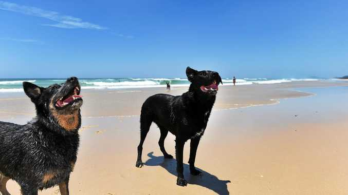 WOOF WOOF: Rocky and Gucci having fun on the leash free dog exercise area at South Kingscliff Beach.