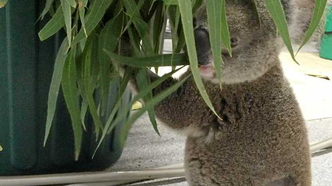 Thommo the koala is one of the lucky few