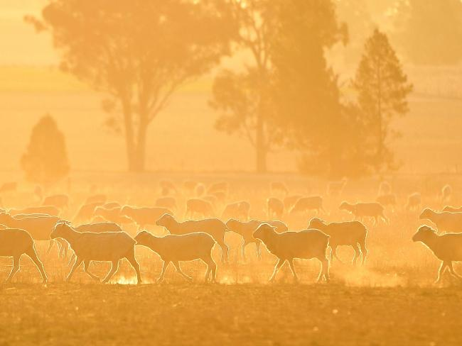 A mob of sheep graze on the dry and dusty fields of a failed crop near Parkes. Picture: AAP