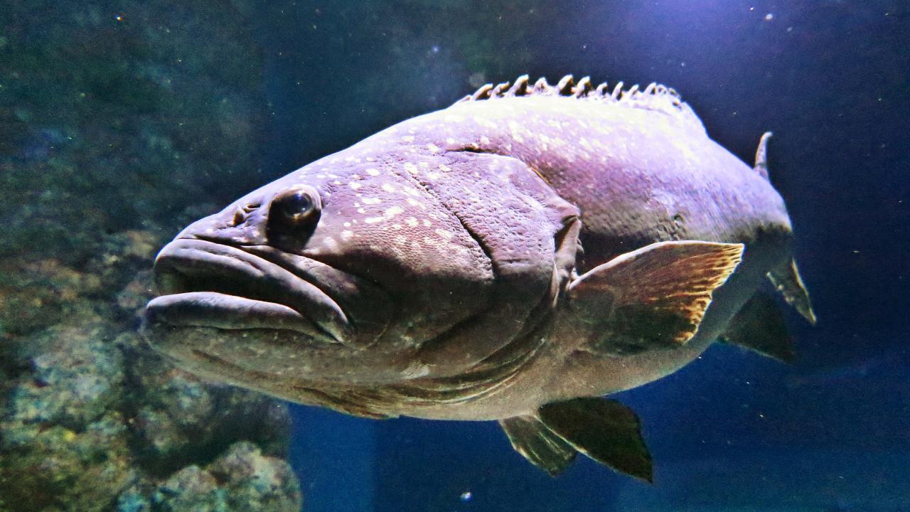 A Queensland grouper at the Cairns Aquarium. Photo: Brendan Radke