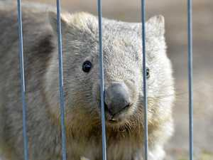 Woman hospitalised after wombat attack at zoo