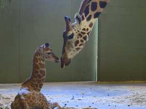 New arrival: Baby giraffe melting hearts at Australia Zoo