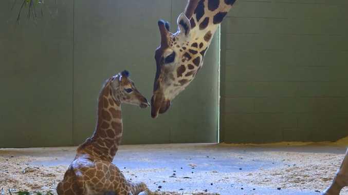 New arrival: Baby giraffe melting hearts at Australia Zoo