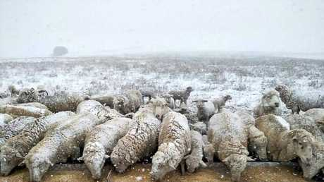 A flock of sheep are pictured coated in snow at Monaro Plain, as a cold snap spreads across NSW. Picture: Alan Southgate