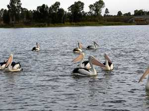 Mingo pelicans hungry for fishing comp