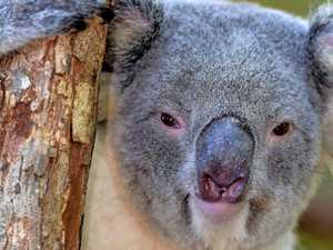 Koala's '20-minute terror spree' at G'bah home