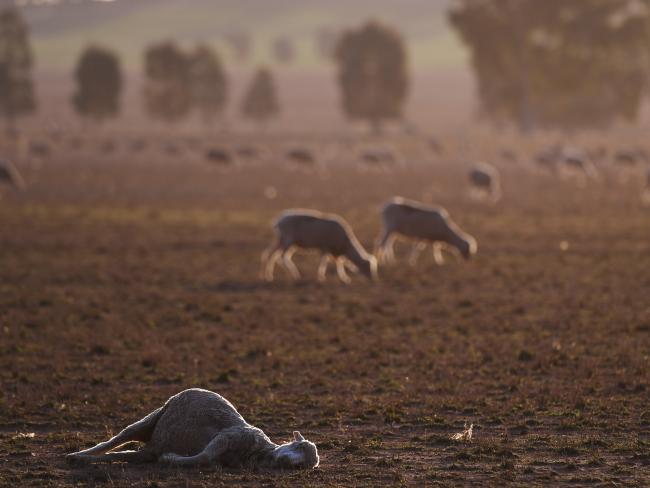 Animals have been perishing in the drought. Picture: AAP Image/Dean Lewins
